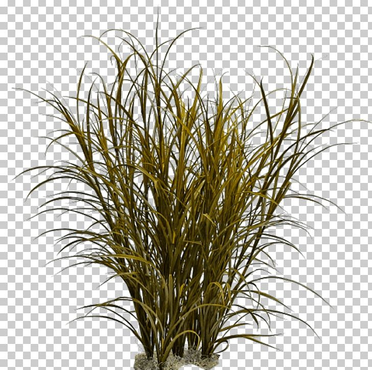 Grasses Ornamental Grass Weed Pennisetum Alopecuroides PNG, Clipart, Branch, Commodity, Fountain Grass, Graminoid, Grass Free PNG Download