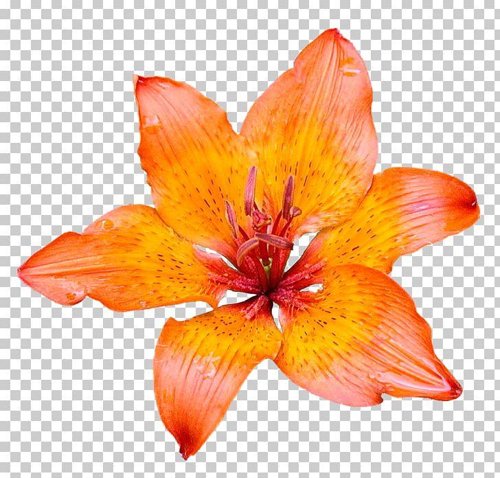 Pink Flowers Desktop Orange Lily Red Spider Lily PNG, Clipart, Alstroemeriaceae, Birth Flower, Blossom, Daylily, Desktop Wallpaper ...