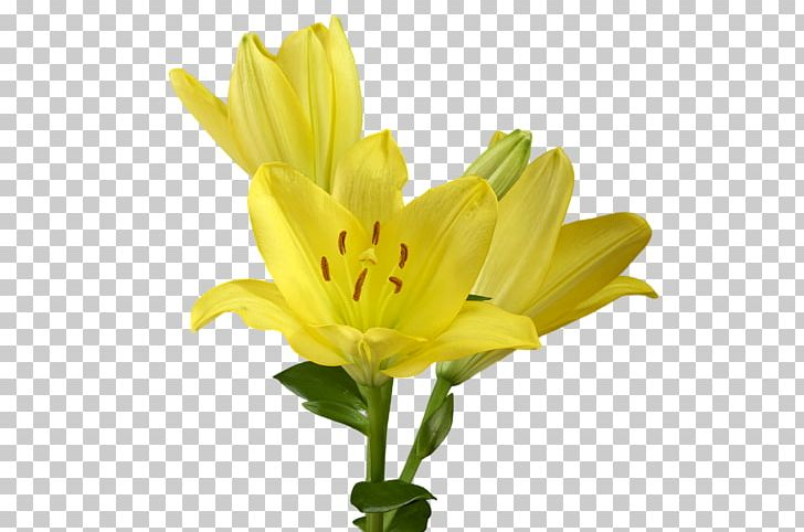 Cut Flowers Yellow Lilium Candidum Plant PNG, Clipart, Cut Flowers, Daisy Family, Daylily, Drawing, Flower Free PNG Download