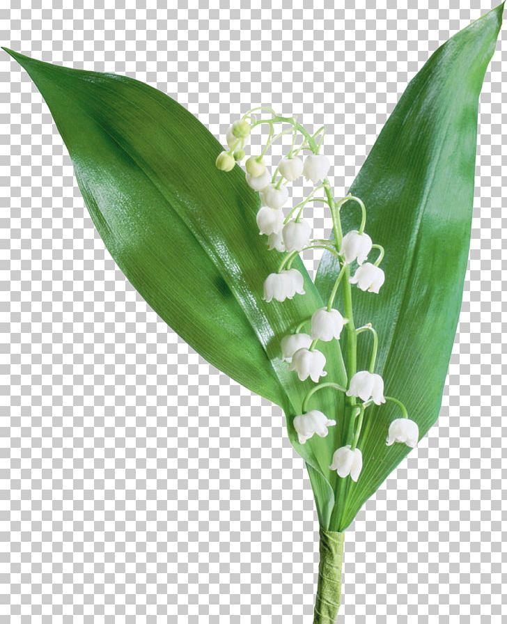 The Lily Of The Valley France Flower PNG, Clipart ... House Plant Lily Of The Valley on house plant banana, house plant candy cane, house plant dracaena, house plant sage, house plant caladium, house plant vinca, house plant fern, house plant strawberry, house plant datura, house plant dogwood, house plant asparagus, house plant cyclamen, house plant ivy, house plant azalea, house plant lime, house plant orchid, house plant ylang ylang, house plant eucalyptus, house plant thyme,