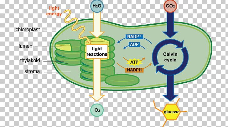 Photosynthesis Chloroplast Cell Diagram Chlorophyll Png Clipart Adenosine Triphosphate Area Biology Cell Cellular Respiration Free Png In the diagram mussels and tubeworms are using the hydrogen sulfide released from a hydrothermal vent. photosynthesis chloroplast cell diagram