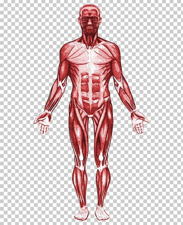 Ihmisen Lihaksisto