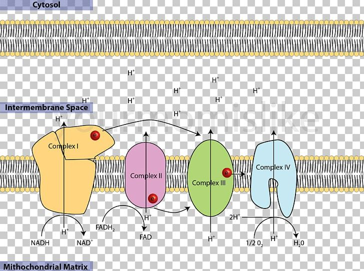 electron transport chain animation download