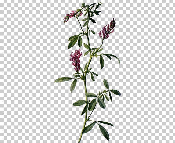 Alfalfa Sativum Medicinal Plants Flower PNG, Clipart, Alfalfa, Botany, Branch, Ecommerce, Flora Free PNG Download