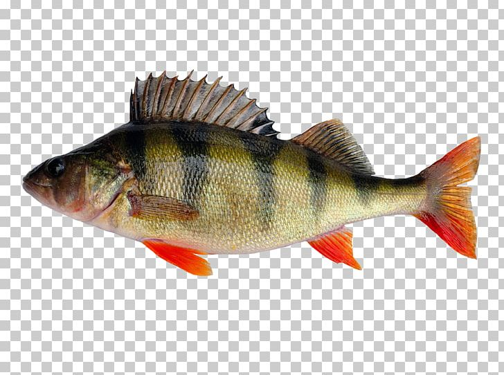 European Perch Fishing Yellow Perch Stock Photography Png
