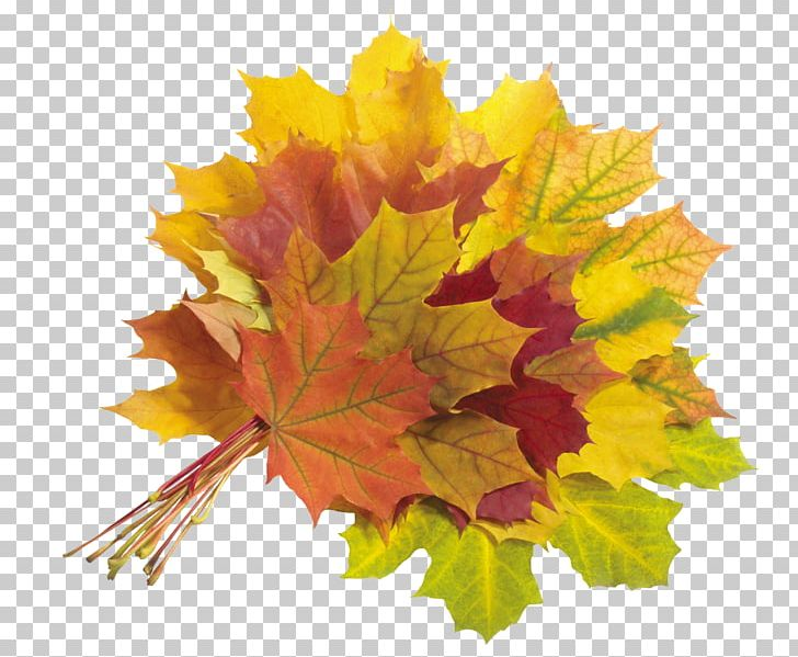 Maple Leaf Autumn Leaves PNG, Clipart, Autumn, Autumn Leaf Color, Autumn Leaves, Flowering Plant, Green Free PNG Download
