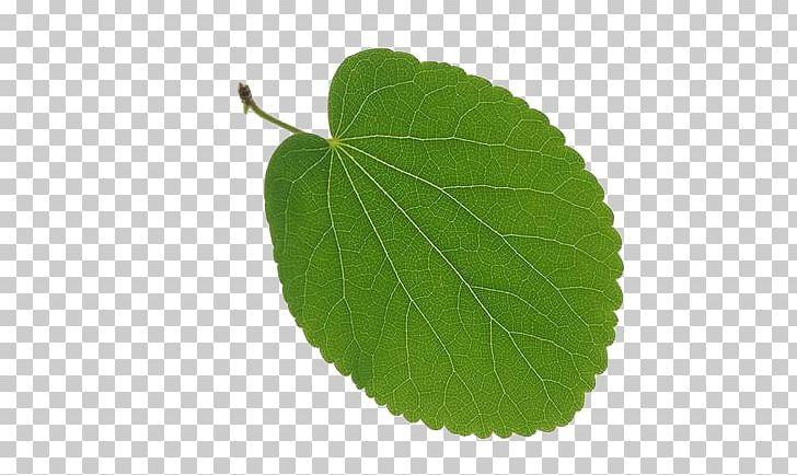 Leaf Tree Vascular Bundle Deciduous PNG, Clipart, Autumn Leaf Color, Autumn Leaves, Banana Leaves, Broadleaved Tree, Circle Free PNG Download