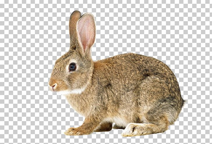 Hare Easter Bunny Cottontail Rabbit Bunnies & Rabbits European Rabbit PNG, Clipart, Animals, Bunnies, Bunnies Rabbits, Cottontail Rabbit, Domestic Rabbit Free PNG Download