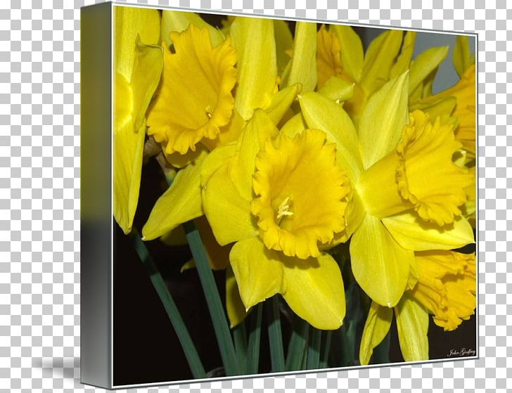 Narcissus Tulip Frames Petal PNG, Clipart, Amaryllis Family, Creative Daffodils, Flower, Flowering Plant, Flowers Free PNG Download
