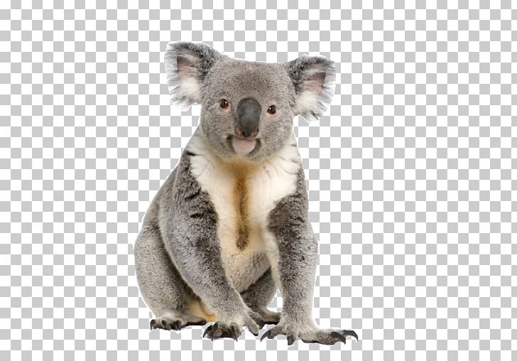 Koala PNG, Clipart, Animal, Australia, Koala, Tree Free PNG Download