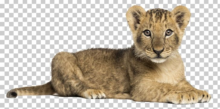 Lion Dog Tiger Stock Photography Roar PNG, Clipart, Lion Dog