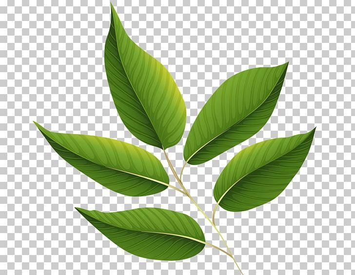 Autumn Leaf Color Green PNG, Clipart, Autumn Leaf Color, Desktop Wallpaper, Download, Green, Green Leaves Free PNG Download