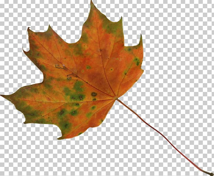 Sugar Maple Japanese Maple Maple Leaf PNG, Clipart, Autumn Leaf Color, Desktop Wallpaper, Flag Of Canada, Green, Japanese Maple Free PNG Download