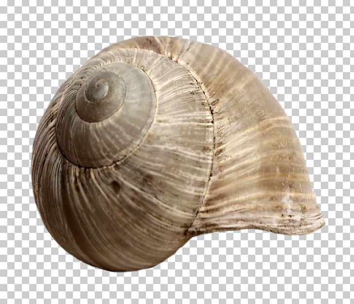 Seashell Snail Gastropod Shell Mollusc Shell PNG, Clipart, Animals, Charonia Tritonis, Clams Oysters Mussels And Scallops, Cockle, Creative Ads Free PNG Download
