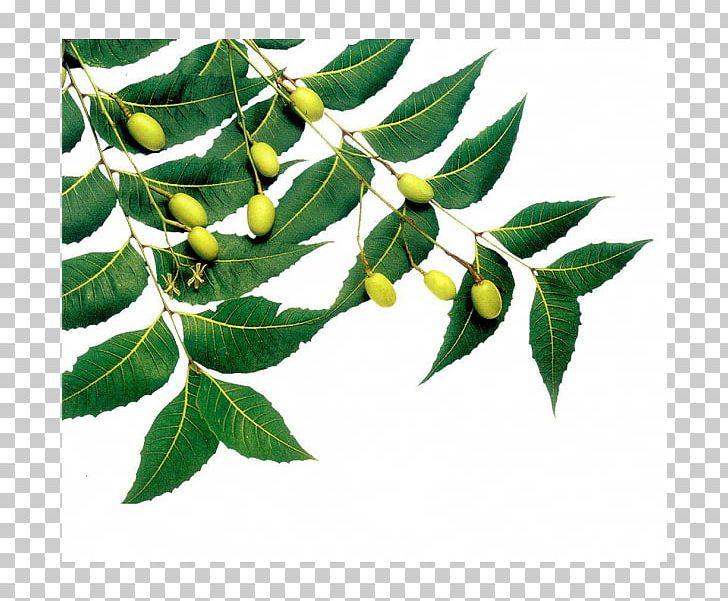 Neem Tree Neem Oil Neem Cake Azadirachtin Png Clipart Azadirachta
