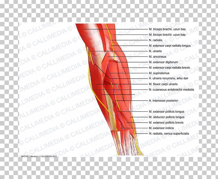 Finger Elbow Muscle Forearm Nerve PNG, Clipart, Abdomen