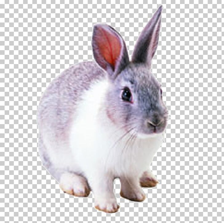 Netherland Dwarf Rabbit Hare Cottontail Rabbit Domestic Rabbit PNG, Clipart, Animals, Cartoon Rabbit, European Rabbit, Fauna, Hares Pikas And Rabbits Free PNG Download