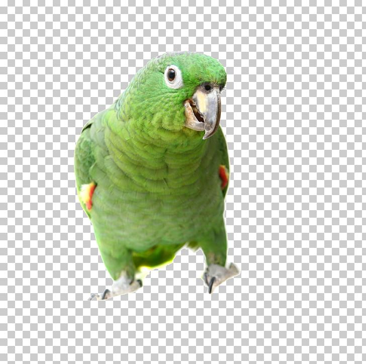 True Parrot Bird Southern Mealy Amazon Turquoise-fronted Amazon Yellow-headed Amazon PNG, Clipart, Amazon Parrot, Animals, Beak, Birds, Common Pet Parakeet Free PNG Download