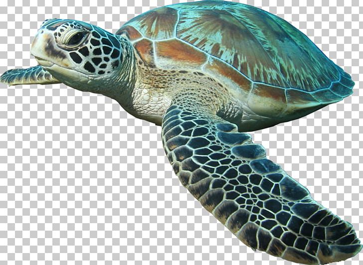 Sea Turtle Islamorada Reptile PNG, Clipart, Animal, Animals, Aquatic Animal, Carapace, Emydidae Free PNG Download