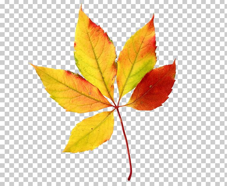 Autumn Leaf Color Maple Leaf PNG, Clipart, Autumn, Autumn Leaf Color, Branch, Clip Art, Color Free PNG Download