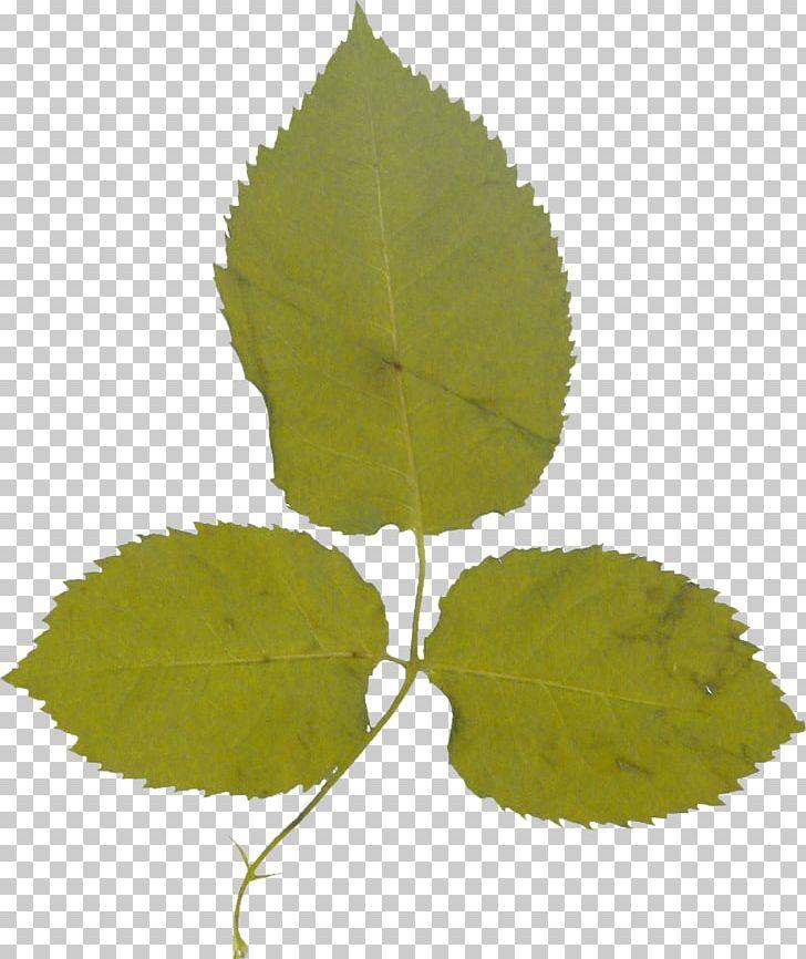 Leaf Garden Roses Deciduous PNG, Clipart, Deciduous, Decoration, Decorative, Flower, Foliage Free PNG Download
