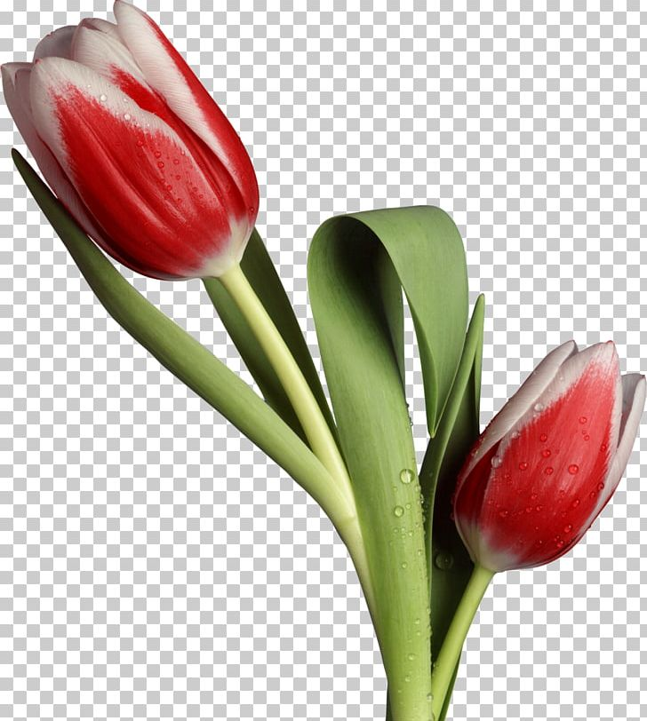 Flower Tulip Desktop Husband PNG, Clipart, Boyfriend, Bud, Cut Flowers, Desktop Wallpaper, Flores Free PNG Download