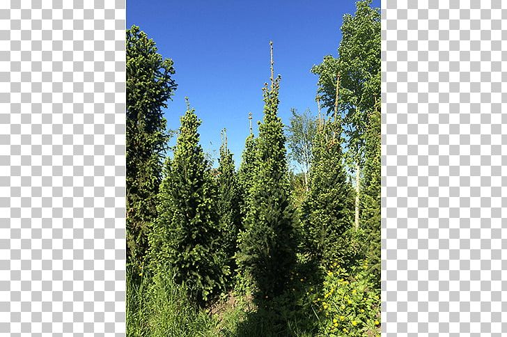Spruce Leyland Cypress Larch Temperate Broadleaf And Mixed Forest Fir PNG, Clipart, Arborvitae, Biome, Conifer, Cupressus, Ecosystem Free PNG Download