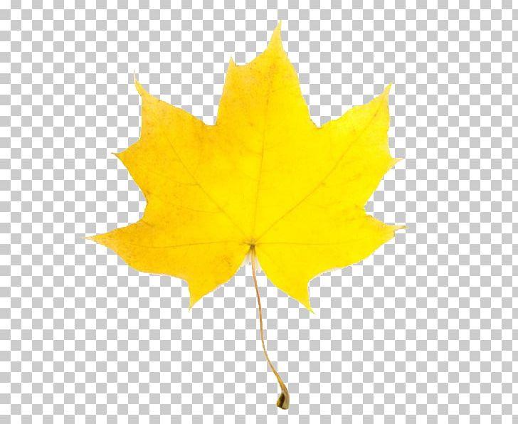 Autumn Leaf Color PNG, Clipart, Autumn, Autumn Leaf Color, Autumn Yellow Leaves, Birch, Color Free PNG Download