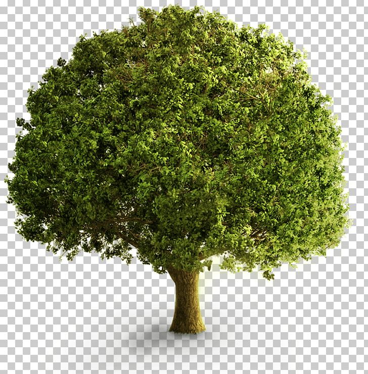 Tree Deciduous PNG, Clipart, 3d Computer Graphics, Branch, Computer Icons, Deciduous, Desktop Wallpaper Free PNG Download