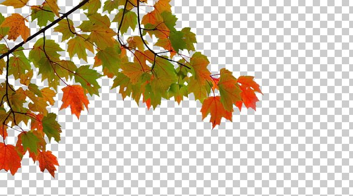 Maple Leaf Autumn PNG, Clipart, Autumn Leaf Color, Autumn Tree, Autumn Vector, Branch, Branches Free PNG Download