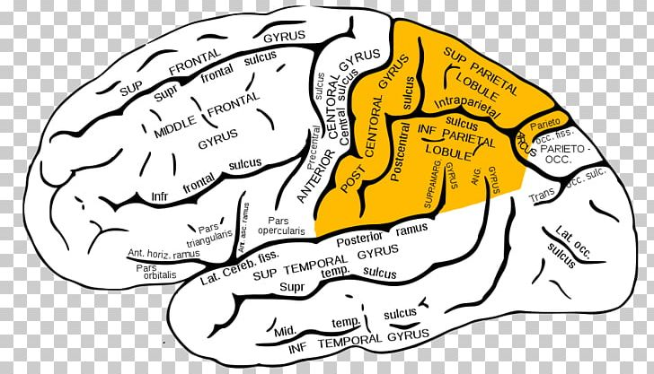 Parietal Lobe Lobes Of The Brain Temporal Lobe Frontal Lobe PNG, Clipart, Anatomy, Angular Gyrus, Brain, Cerebral Cortex, Cerebrum Free PNG Download
