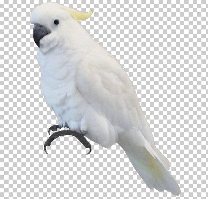 Bird Parrot Sulphur-crested Cockatoo PNG, Clipart, Animals