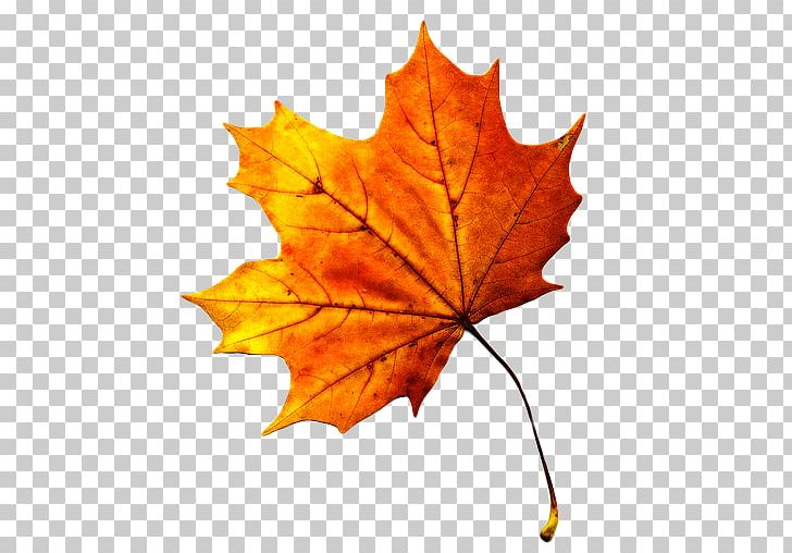 Autumn Leaf Color Maple Leaf PNG, Clipart, Autumn, Autumn Leaf Color, Color, Download, Green Free PNG Download