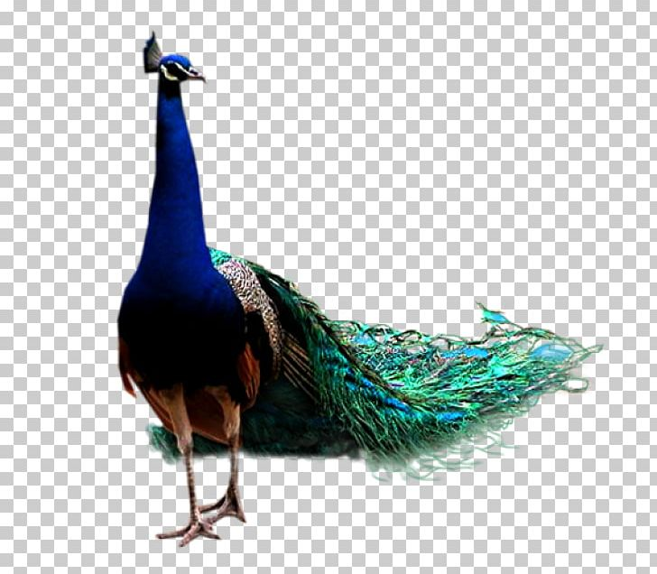 Bird Asiatic Peafowl Chincholi Morachi PNG, Clipart, Android, Animals, Asiatic, Asiatic Peafowl, Beak Free PNG Download