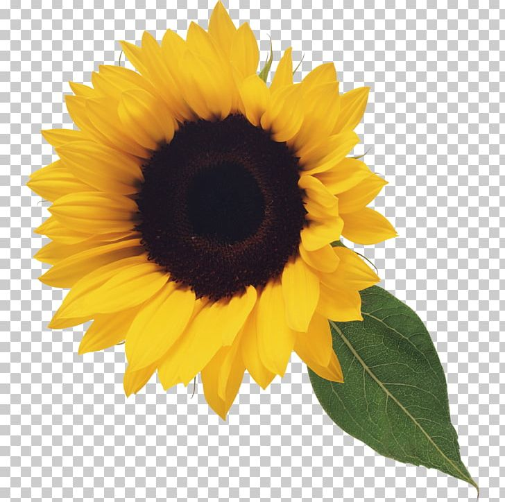 Portable Network Graphics Common Sunflower Computer Icons PNG, Clipart, Common Sunflower, Computer Icons, Daisy Family, Desktop Wallpaper, Download Free PNG Download