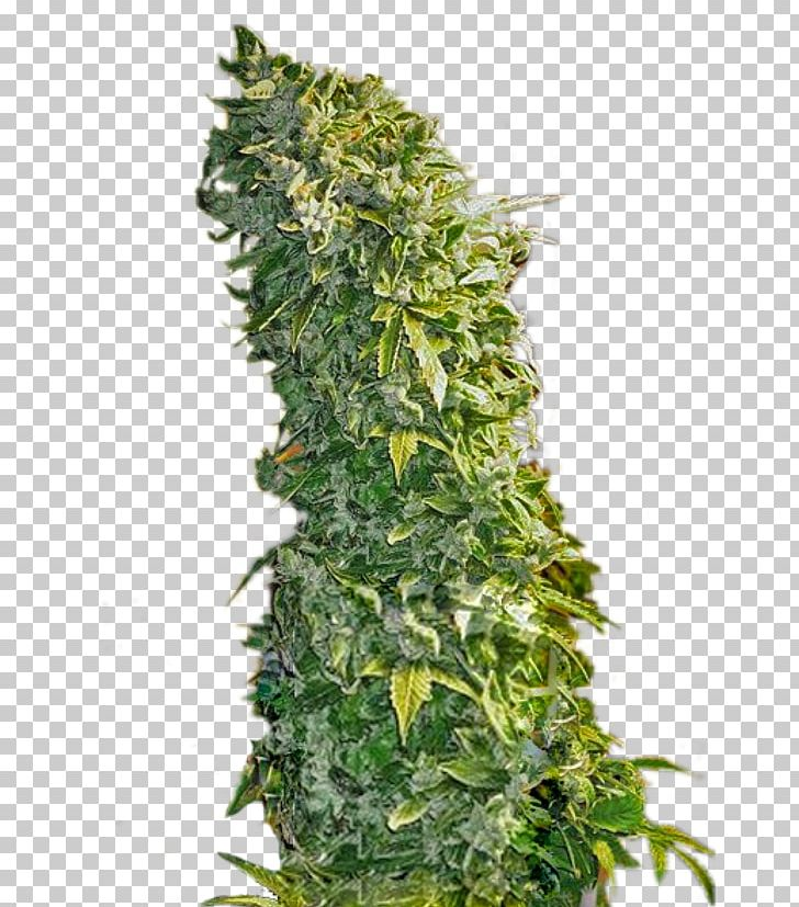 Feminized Cannabis Seed Plant Skunk PNG, Clipart, Autoflowering Cannabis, Cannabis, Cannabis Sativa, Cultivar, Cypress Free PNG Download