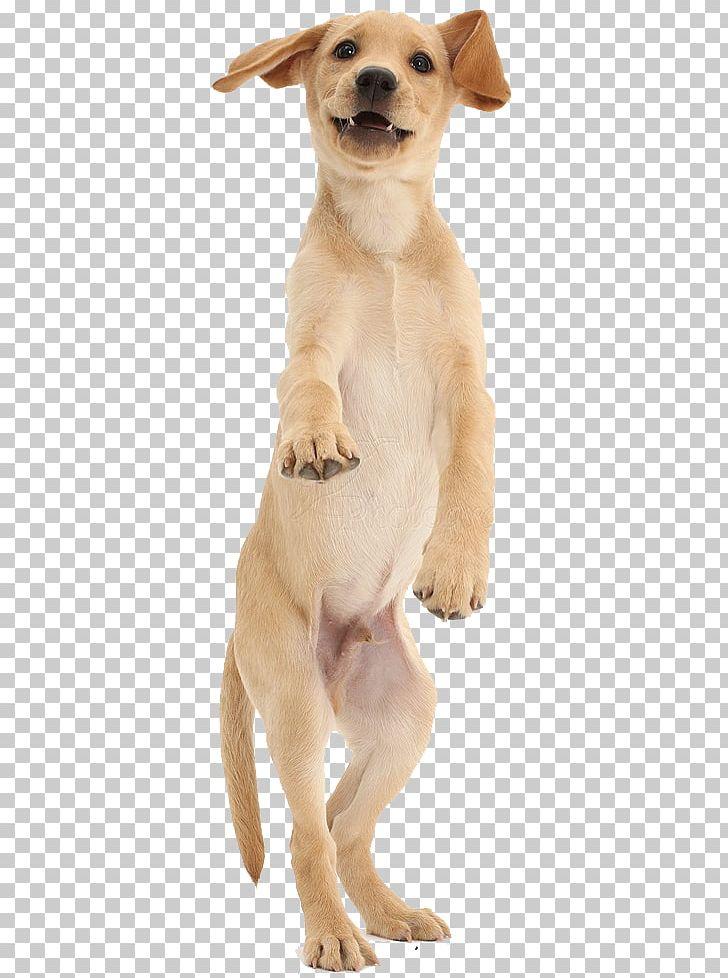 Golden Retriever Labrador Retriever Puppy Dog Breed