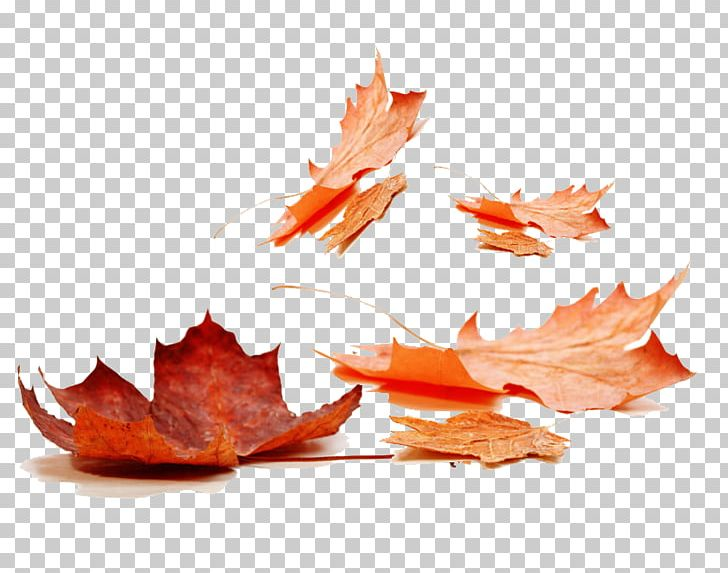 Autumn Leaf Color Maple Leaf PNG, Clipart, Autumn, Autumn Leaf Color, Autumn Leaves, Color, Decorative Patterns Free PNG Download