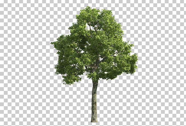 Populus Alba Tree Desktop Stock Photography Deciduous PNG, Clipart, Agac, Agac Resimleri, Branch, Cottonwood, Deciduous Free PNG Download