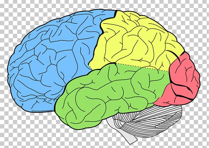 Lobes Of The Brain Frontal Lobe Temporal Lobe Occipital Lobe PNG, Clipart, Anatomy, Area, Brain, Cerebral Cortex, Cerebrum Free PNG Download