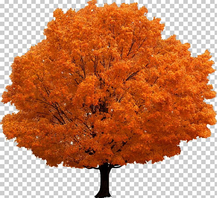 Red Maple Tree Branch PNG, Clipart, Autumn, Autumn Leaf Color, Branch, Deciduous, Japanese Maple Free PNG Download