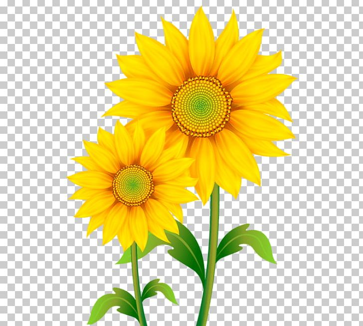 Portable Network Graphics Common Sunflower Open PNG, Clipart, Annual Plant, Common Sunflower, Cut Flowers, Daisy Family, Document Free PNG Download