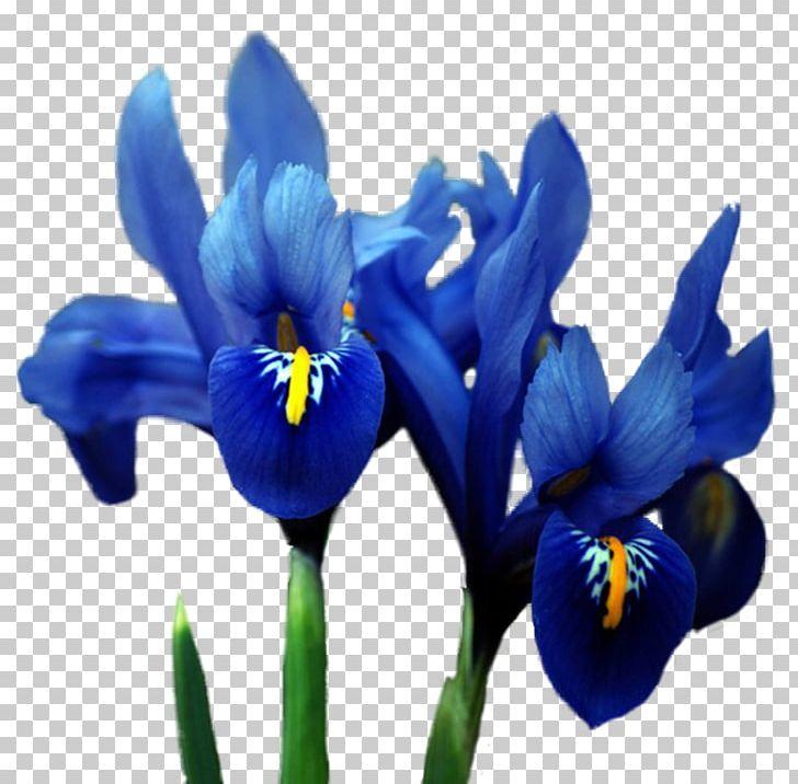 Orris Root Irises Flower Blue PNG, Clipart, Blue, Color