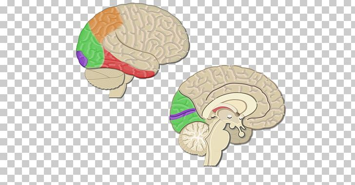 Cerebral Cortex Visual Cortex Sulcus Lobes Of The Brain PNG, Clipart, Anatomy, Brain, Cerebral Cortex, Cerebrum, Cortex Free PNG Download