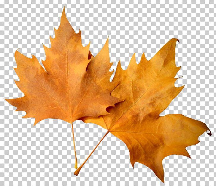 Maple Leaf Autumn Deciduous PNG, Clipart, Autumn, Autumn Leaf, Autumn Leaf Color, Coreldraw, Deciduous Free PNG Download