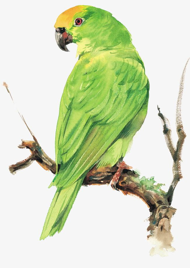 Parrot PNG, Clipart, Animal, Bird, Birds, Branches, Branches Bird Free PNG Download