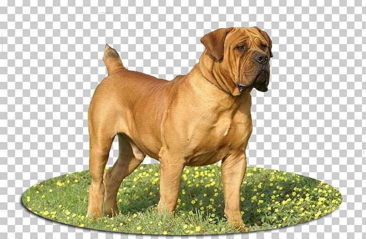 Boerboel Olde English Bulldogge Dog Breed Bullmastiff Old