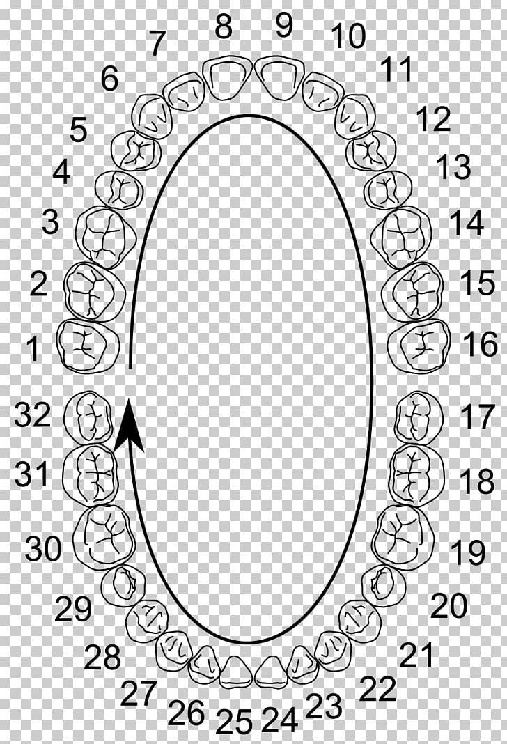 Wisdom Tooth Molar Universal Numbering System Dental Anatomy ...