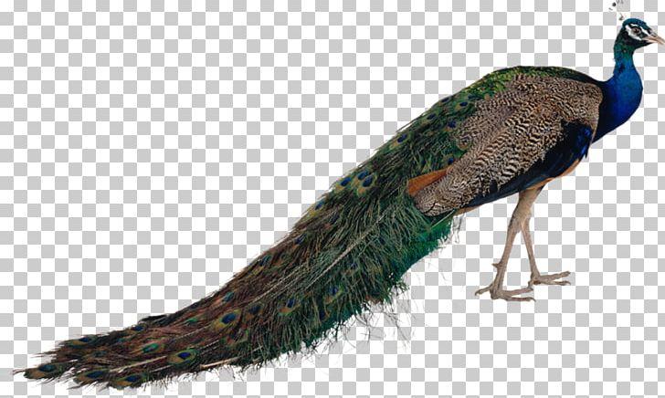 Pavo Bird Feather Asiatic Peafowl PNG, Clipart, Animals, Asiatic Peafowl, Beak, Bird, Digital Image Free PNG Download