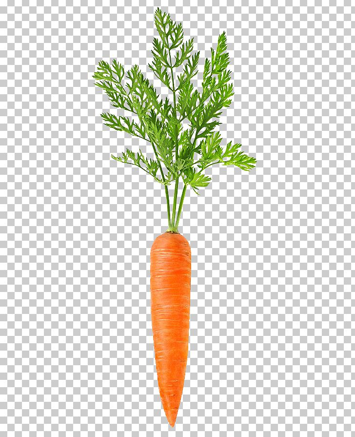 Carrot PNG, Clipart, Bunch Of Carrots, Carrot, Carrot Cartoon, Carrot Juice, Carrots Free PNG Download